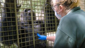 Staff at the Audubon Zoo use protective measures when working with the animals. The New Orleans zoo is using a specially developed coronavirus vaccine on its gorillas and orangutans. (Audubon Nature Institute/Zenger)