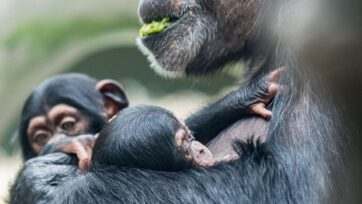 Female chimpanzee Kitoko and the two newborns, her son and her niece, at the Basel Zoo in Switzerland. (Zoo Basel/Zenger)