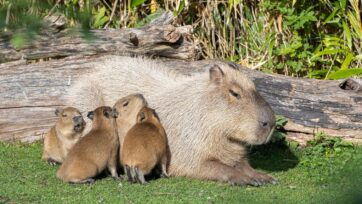 The four capybaras with their mother Sissi at the Zurich Zoo. Capybaras are the largest rodents. (Zoo Zurich, Enzo Franchini/Zenger)