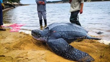 The rescued leatherback turtle being released on Cape Cod in Massachusetts on Oct. 12. (IFAW/Zenger)