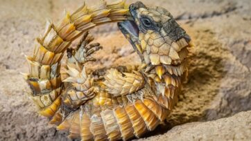 A defensive position of an adult South African armadillo girdled lizard in the Vienna Zoo in Austria. (Daniel Zupanc/Zenger)