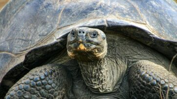 Fifteen giant tortoises were recently found slaughtered in the Galapagos Islands. (Galapagos Conservancy/Zenger)