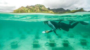 A researcher swims over the coral garden near Mo'orea, French Polynesia. (Quentin Schull/Zenger)
