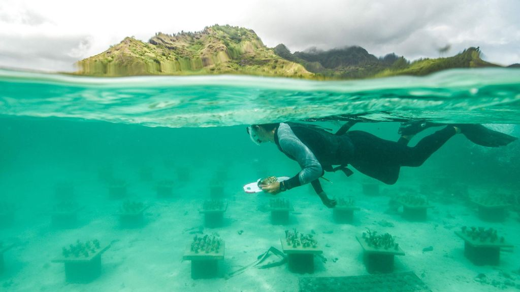 VIDEO What A Re-Reef! Undersea Coral Gardens Could Save Threatened Colonies