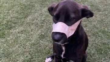 Kei se encuentra recuperándose tras las heridas sufridas por los disparos de unos ladrones en el hogar de sus amos en Benoni, Sudáfrica, el 10 de octubre. (Boksburg SPCA/Zenger)