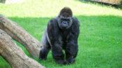 VIDEO: Apey Birthday To Zoo: Joint Birthday Bash For 2 Wildlife Park Gorillas