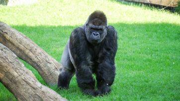 One of the gorillas celebrating a birthday at Bioparc Valencia in Spain. (Bioparc Valencia/Zenger)