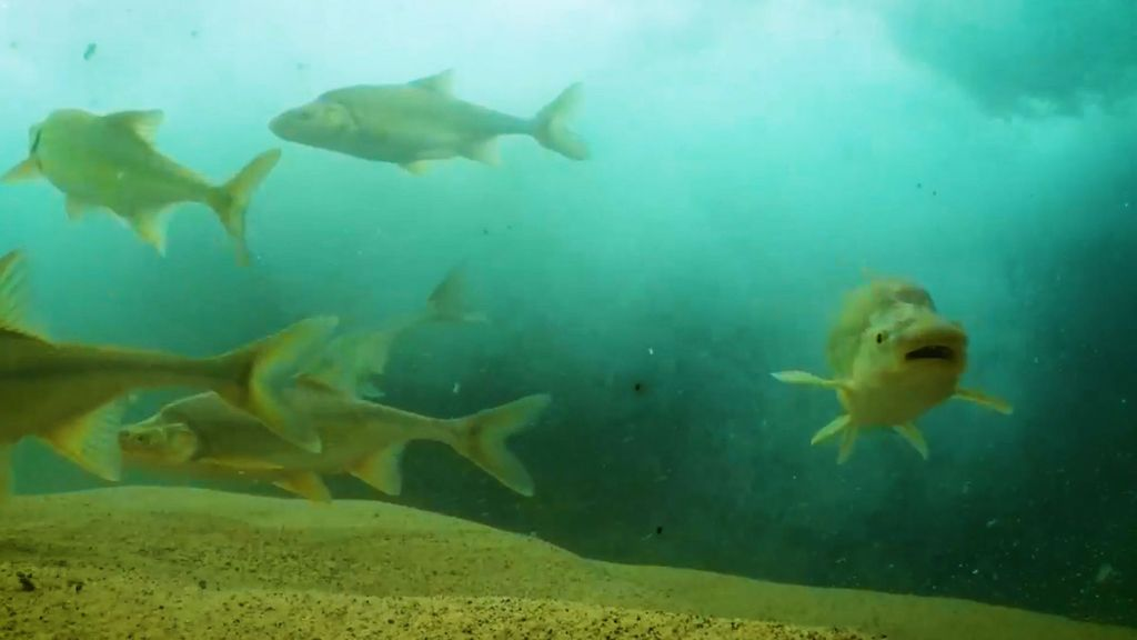 VIDEO: US Fish And Wildlife Service Celebrates As Endangered Colorado River Fish Numbers Pick Up