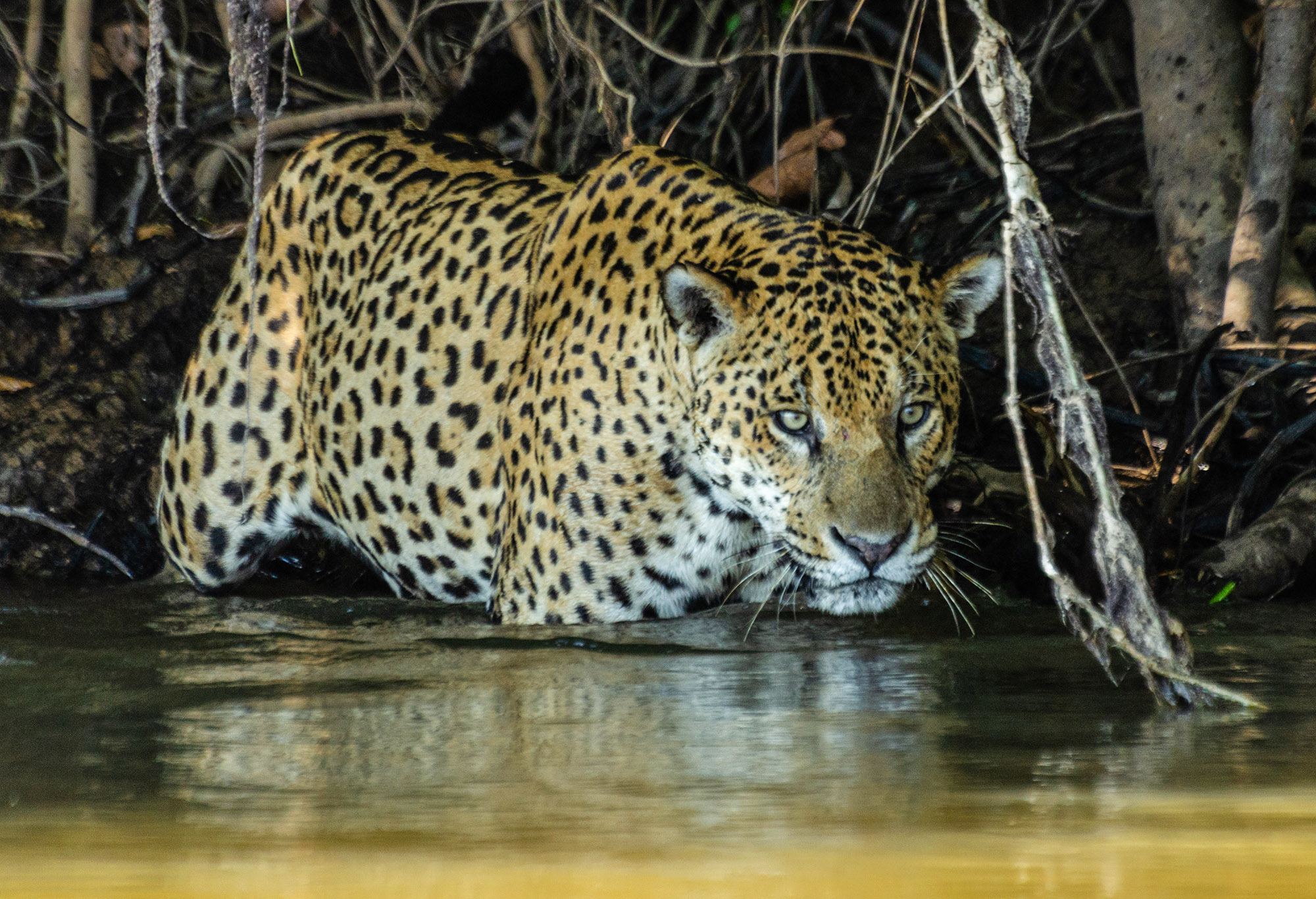 VIDEO: Sea-Type Jaguars: Isolated Big Cats Have Taken To Eating Fish