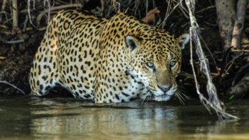 Se observó que los jaguares del norte del Pantanal, en Brasil, comen principalmente pescados y reptiles, lo cual es inusual para la especie. (Daniel Kantek/Zenger)