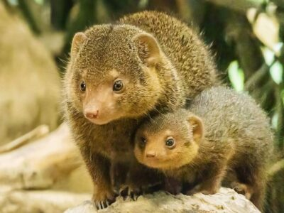 One of the three common dwarf mongoose offspring born in the Schonbrunn Zoo in Vienna, Austria, in September, alongside its mother. (Daniel Zupanc/Zenger)