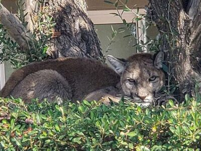 The Palm Springs Police Department rescued this malnourished mountain lion that had wandered into a condominium complex on Oct. 18. The mountain lion will be released into the wild after it has recovered at a wildlife refuge.(Palm Springs Police Department/Zenger)