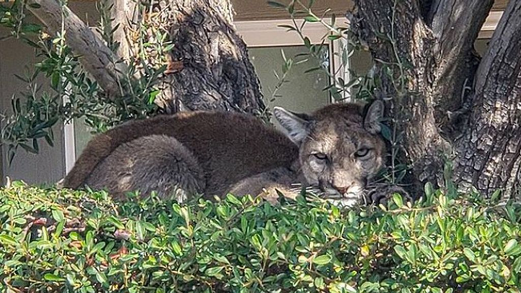 Mounting Lion: Confused Cougar Trapped Up Tree In Suburban Condo Complex