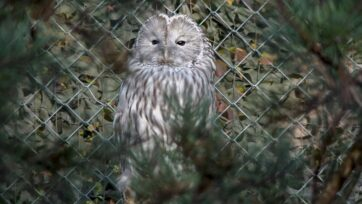 Three new Ural owls were recently brought to the Zurich Zoo in Switzerland as part of an effort to repopulate the species in Austria and Germany. (Zoo Zurich, Nicole Schnyder/Zenger)