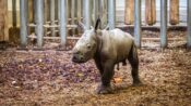 VIDEO: All White Now: White Rhino Calf Romps With Mom