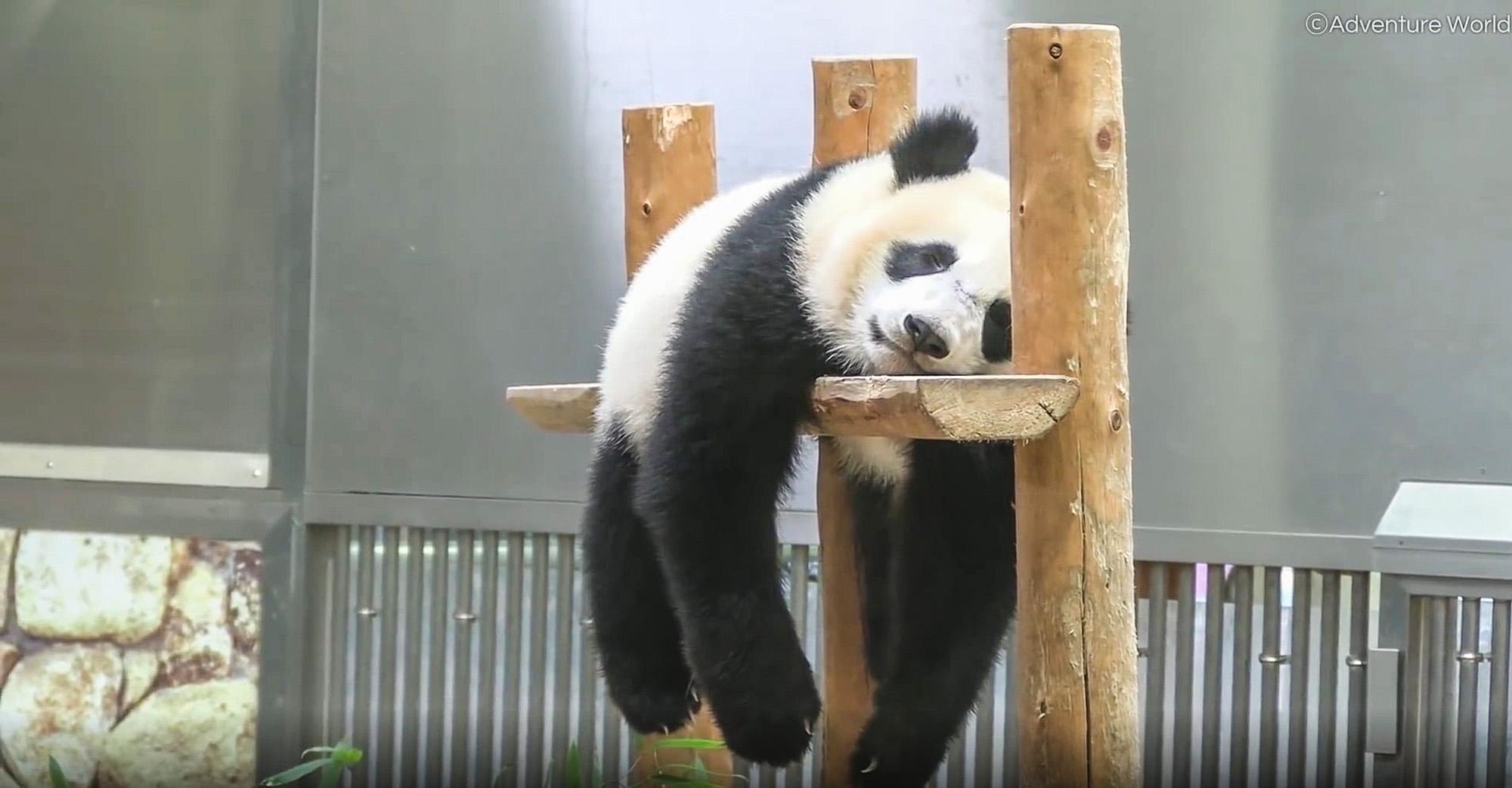VIDEO: Pour Thing: Exhausted Panda Cub Sleeps Through Rainstorm